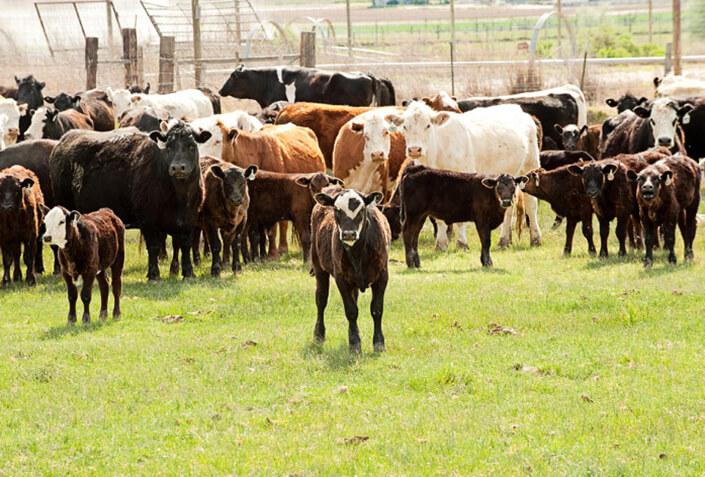 HeardBuilder-Calf-and-Herd-Image