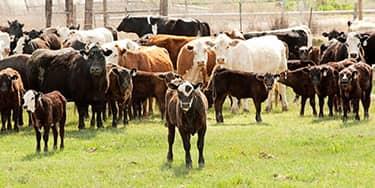 HerdBuilder-Calf-and-Herd-Small-Image